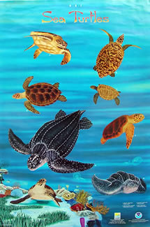 sea_turtles_gr2